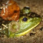 Bullfrog #2